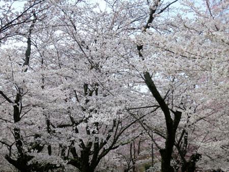 京都の桜はイイ感じな今週。_c0108595_23552516.jpg