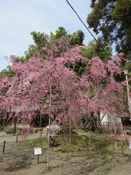 京都の桜はイイ感じな今週。_c0108595_23573530.jpg