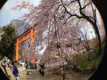京都の桜はイイ感じな今週。_c0108595_2359378.jpg