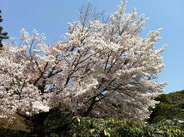 京都さくらんらんらん♪_e0149215_935261.jpg