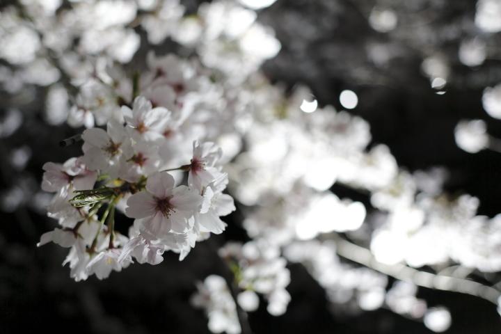 桜花爛漫_f0253927_23581132.jpg