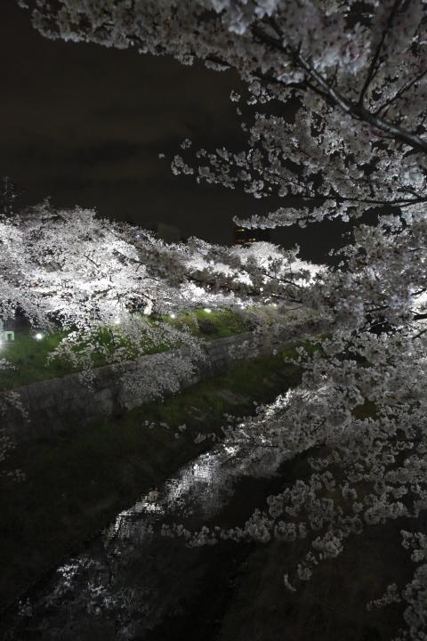 桜花爛漫_f0253927_2359329.jpg