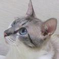 ねこひと会が保護した東日本大震災被災猫 No.C001〜150_e0316841_14262935.jpg