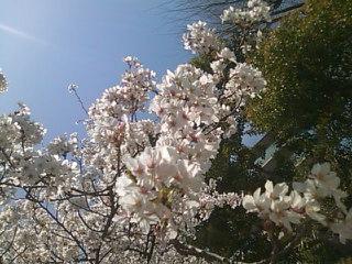 宝塚・・・満開の桜からスタートです*(^-^)*_f0061067_2155244.jpg