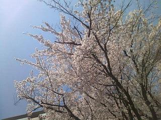 宝塚・・・満開の桜からスタートです*(^-^)*_f0061067_21552472.jpg