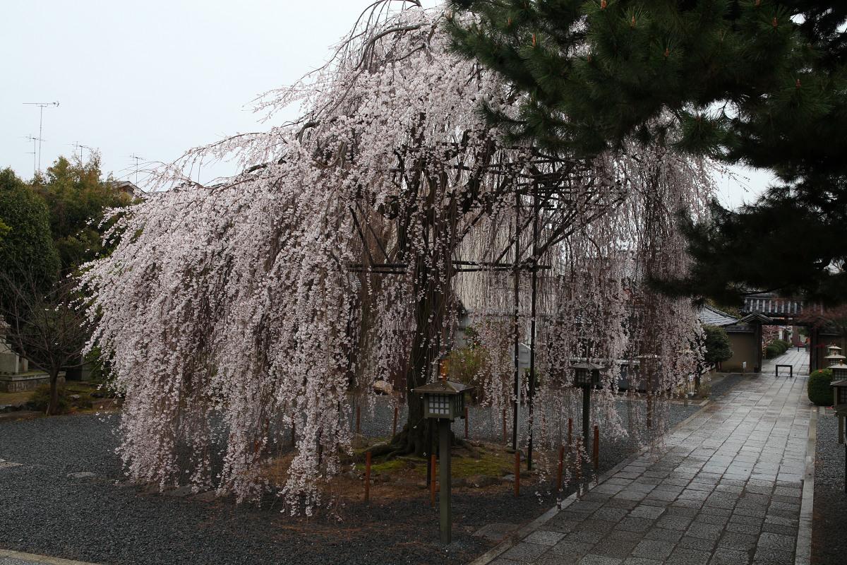 桜 2013 <京都 千本釈迦堂> _f0021869_22191210.jpg