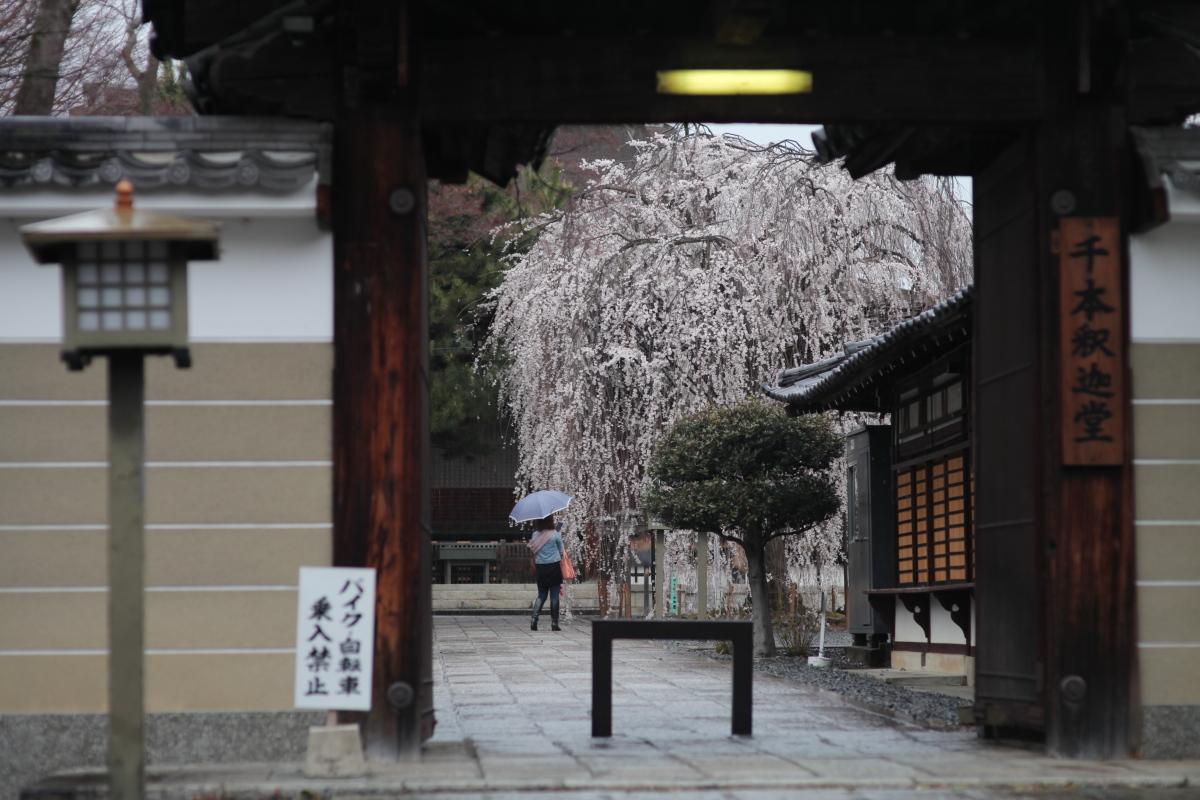 桜 2013 <京都 千本釈迦堂> _f0021869_22571176.jpg