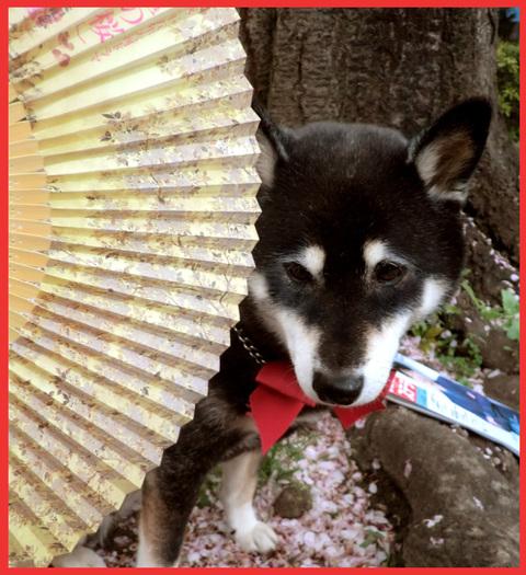 いよいよ嫁ぐ日を、迎えます。「八重の桜」。_e0236072_22571020.jpg