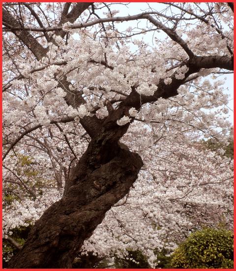 いよいよ嫁ぐ日を、迎えます。「八重の桜」。_e0236072_230387.jpg