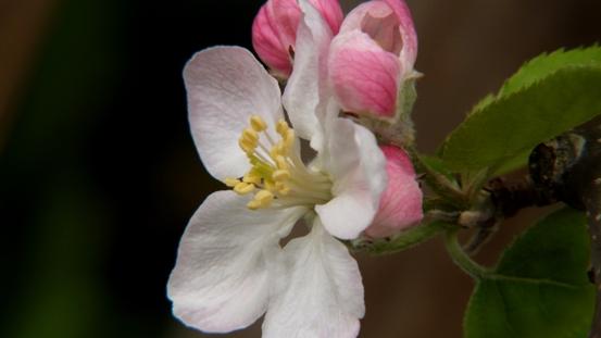 りんごの花ほころび♪_b0214473_19311028.jpg