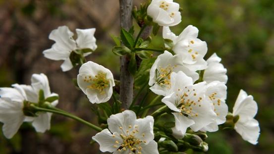 りんごの花ほころび♪_b0214473_19372524.jpg