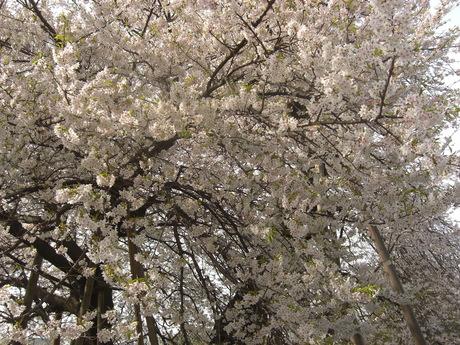 北本の蒲桜_b0209507_1718364.jpg