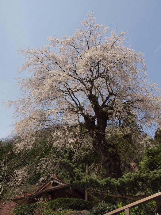 田布壹神社(タフノウテナジンジャ)のしだれ桜_c0116915_23301256.jpg