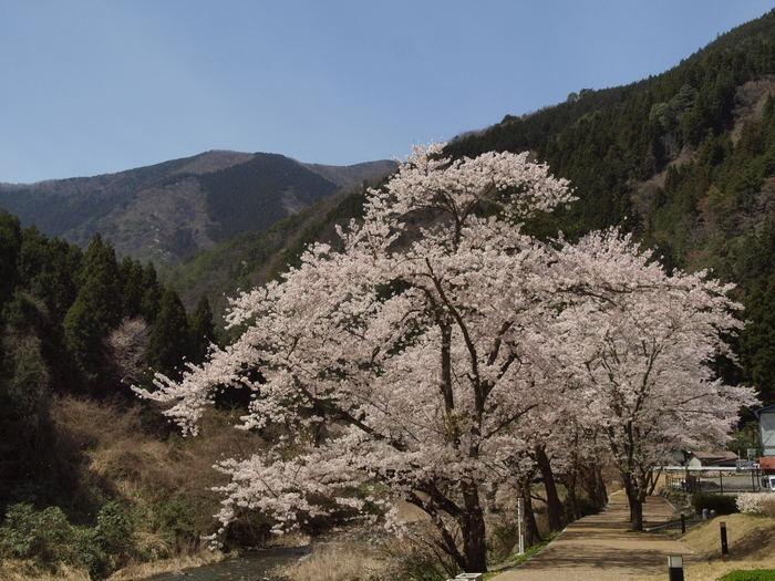 湯来ロッジ周辺の桜など_c0116915_23505863.jpg