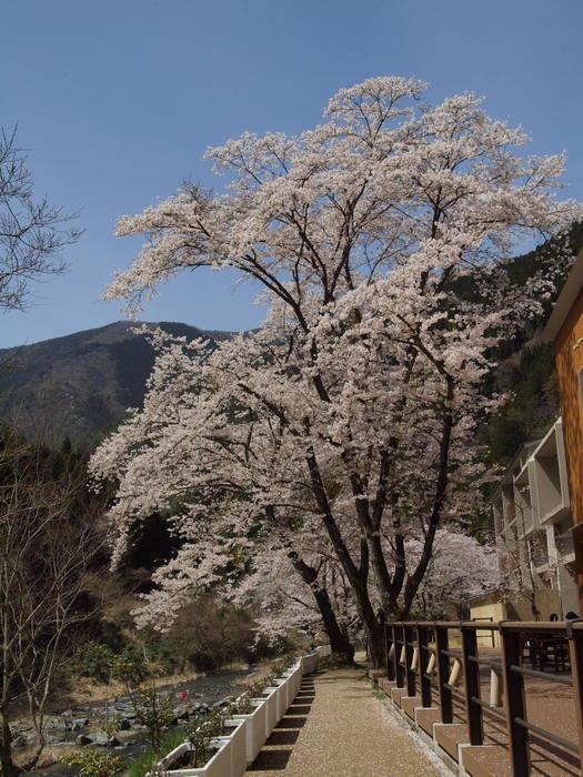 湯来ロッジ周辺の桜など_c0116915_23512834.jpg