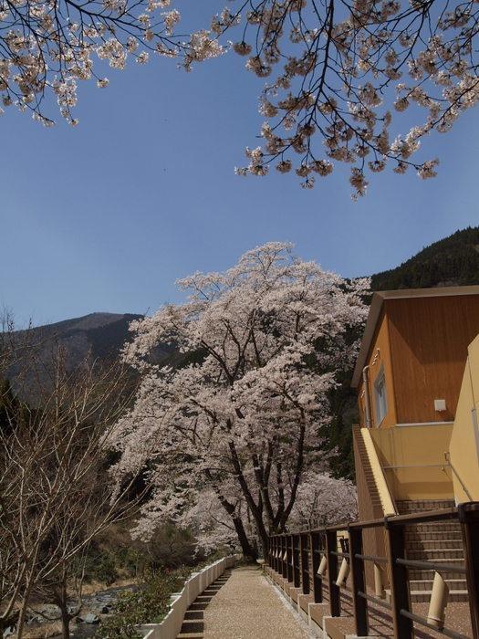 湯来ロッジ周辺の桜など_c0116915_23514476.jpg
