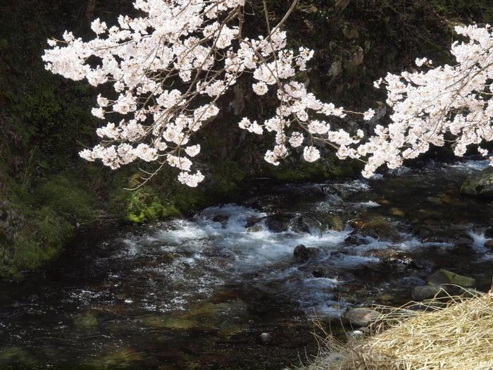 湯来ロッジ周辺の桜など_c0116915_23521875.jpg