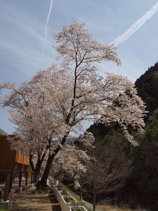 湯来ロッジ周辺の桜など_c0116915_2354154.jpg