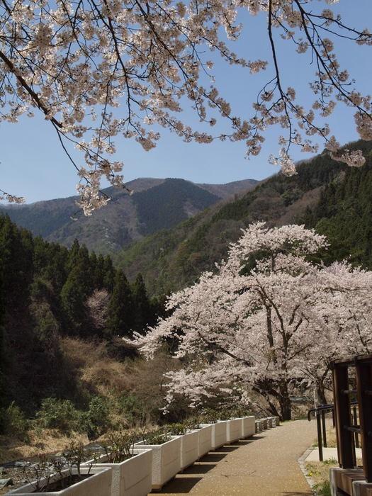 湯来ロッジ周辺の桜など_c0116915_23541580.jpg