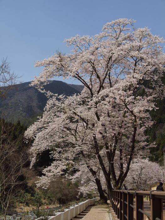 湯来ロッジ周辺の桜など_c0116915_23545425.jpg