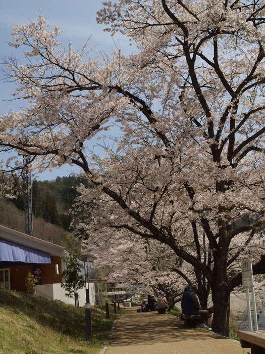 湯来ロッジ周辺の桜など_c0116915_23584486.jpg