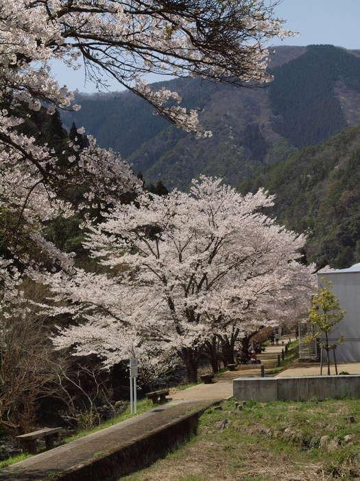 湯来ロッジ周辺の桜など_c0116915_23594652.jpg