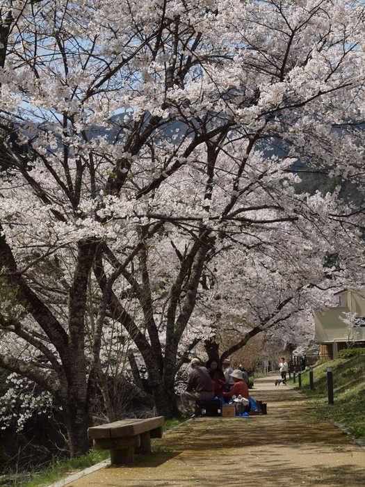 湯来ロッジ周辺の桜など_c0116915_2359472.jpg