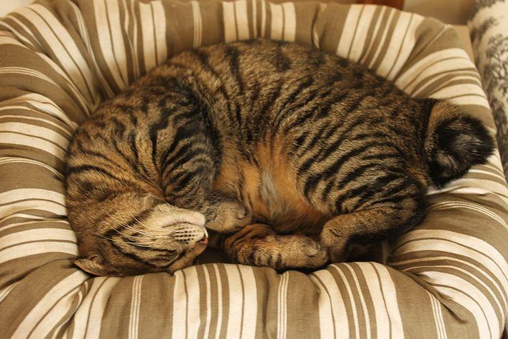 ベッドで寝ていても、いつもなら夫の気配を察してソファーの裏に隠れるチョコ... 春眠暁を覚えず