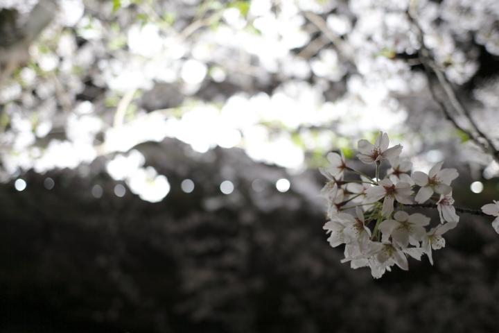 桜花爛漫_f0253927_00822.jpg
