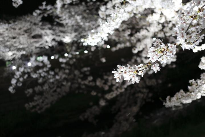 桜花爛漫_f0253927_02328.jpg
