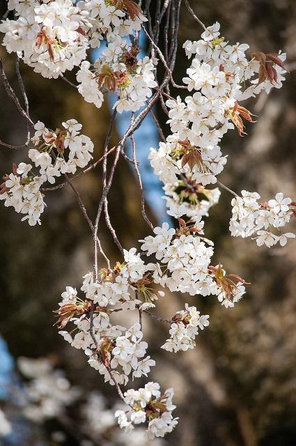 もう1種の山桜_b0230131_12422661.jpg