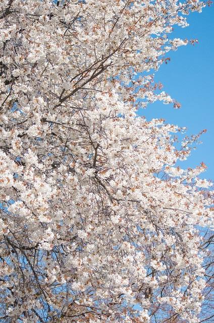 もう1種の山桜_b0230131_12444098.jpg