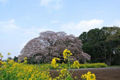 吉高の大桜_e0089232_19382339.jpg