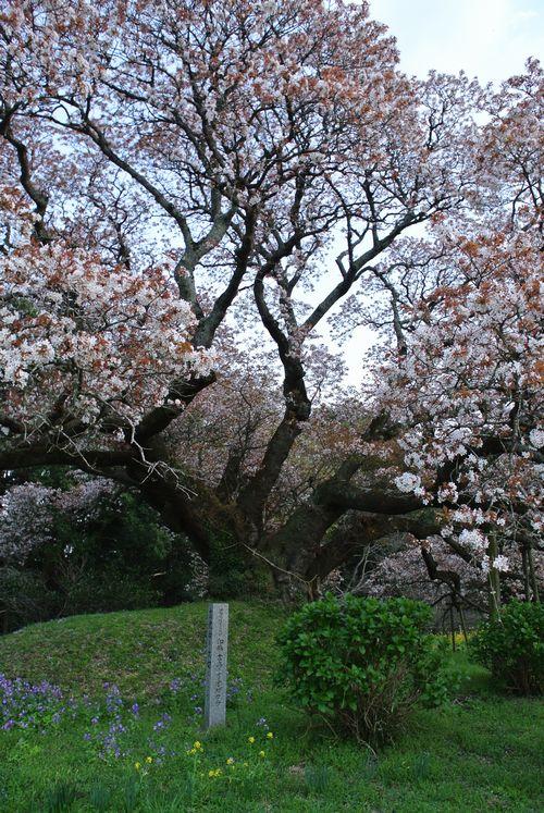 吉高の大桜_e0089232_19392629.jpg