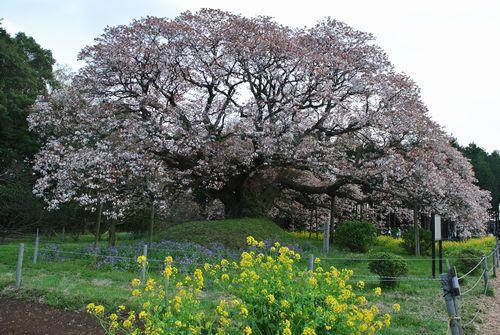 吉高の大桜_e0089232_19395633.jpg