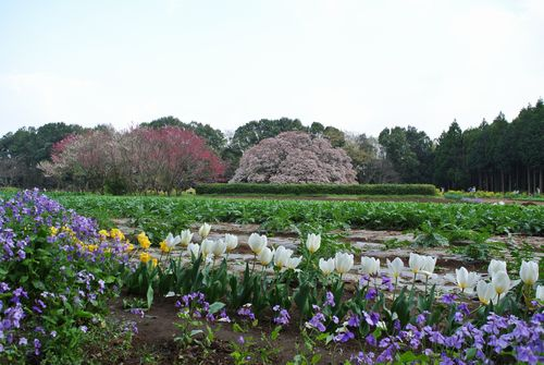 吉高の大桜_e0089232_19402353.jpg