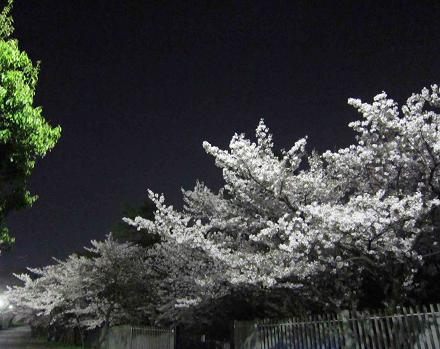 夜桜_b0177436_16455478.jpg