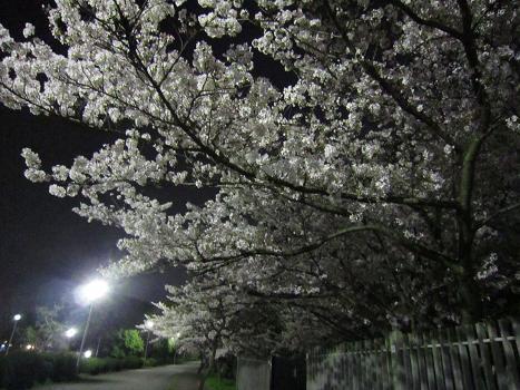 夜桜_b0177436_1645850.jpg