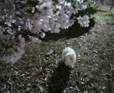 夜桜_b0177436_16461853.jpg