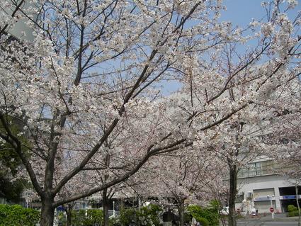 桜 咲いた!!_b0096638_11133569.jpg