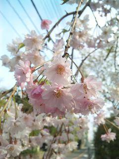 桜咲く_a0103940_10473788.jpg
