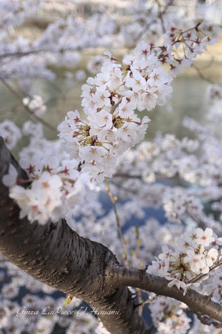 花のある風景 今年の桜_b0133053_22242622.jpg