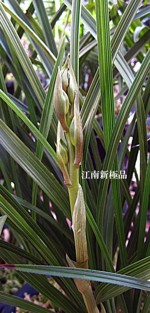 中国蘭一茎九華の蕾                 No.1267_d0103457_2305725.jpg
