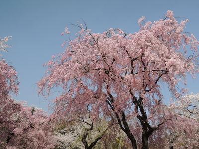 お弁当持って京都お花見散歩_b0252363_1743616.jpg