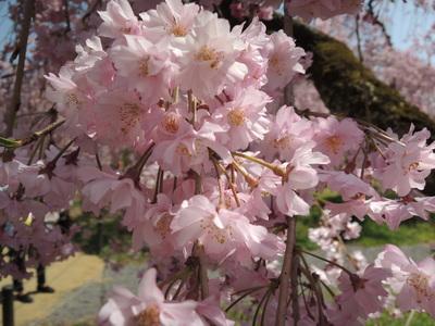 お弁当持って京都お花見散歩_b0252363_1753275.jpg