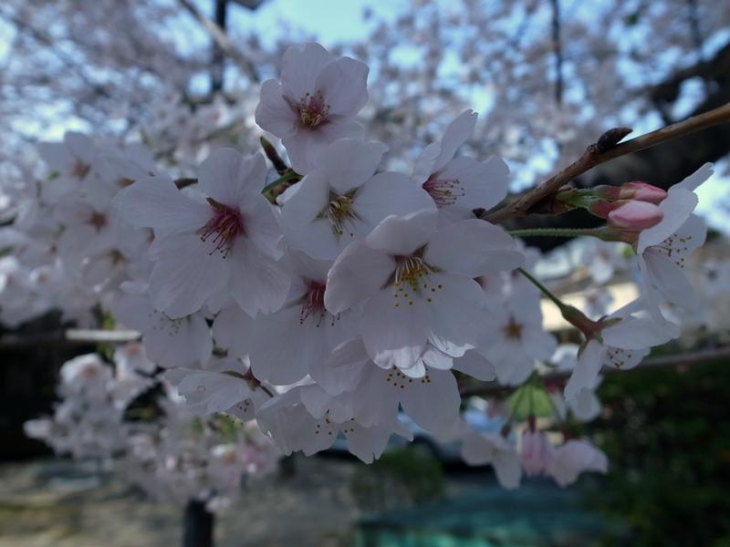 桜の樹の下で_e0271890_23452784.jpg