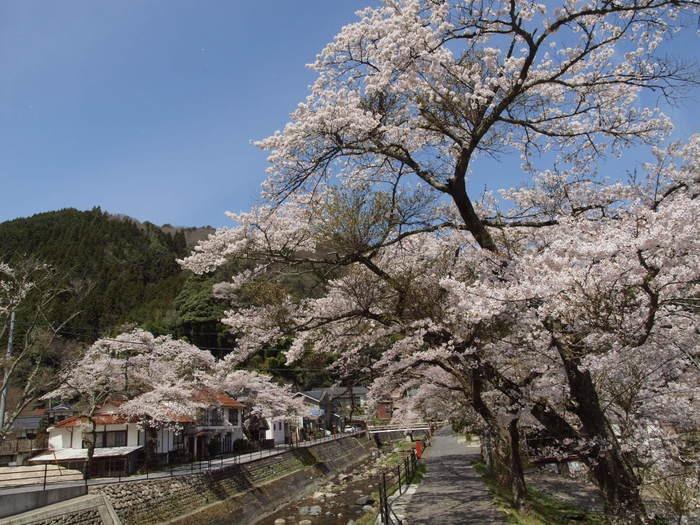 湯来ロッジ周辺の桜など_c0116915_003652.jpg