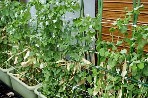 【園芸と雑事】今日はスナップエンドウ/チューリップ他の暴風雨対策と障子貼りで終わりました。_b0033423_22275171.jpg