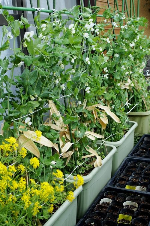 【園芸と雑事】今日はスナップエンドウ/チューリップ他の暴風雨対策と障子貼りで終わりました。_b0033423_2227859.jpg