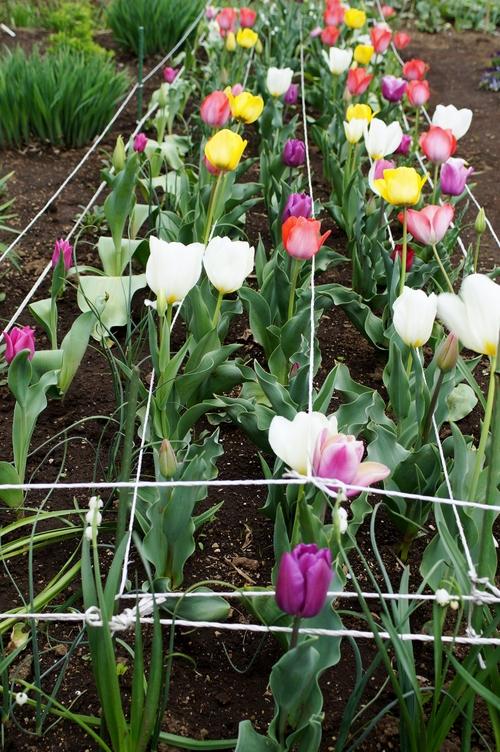 【園芸と雑事】今日はスナップエンドウ/チューリップ他の暴風雨対策と障子貼りで終わりました。_b0033423_22492352.jpg